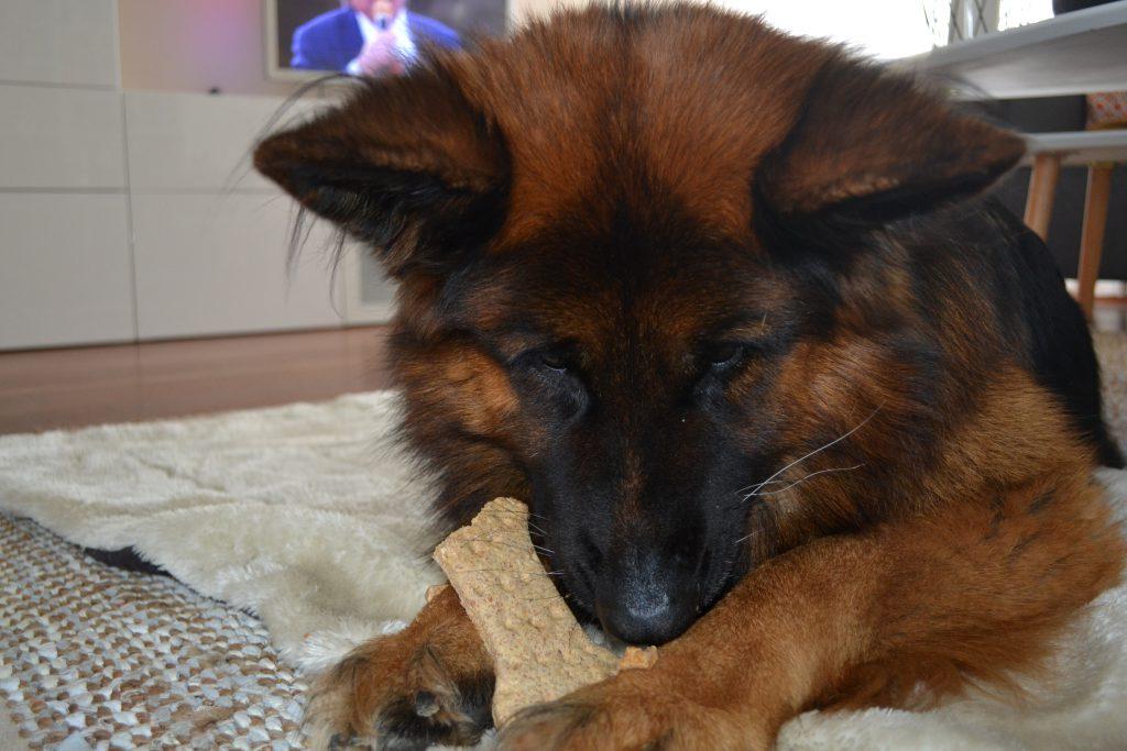 Duitse herder Vince eet zijn koek