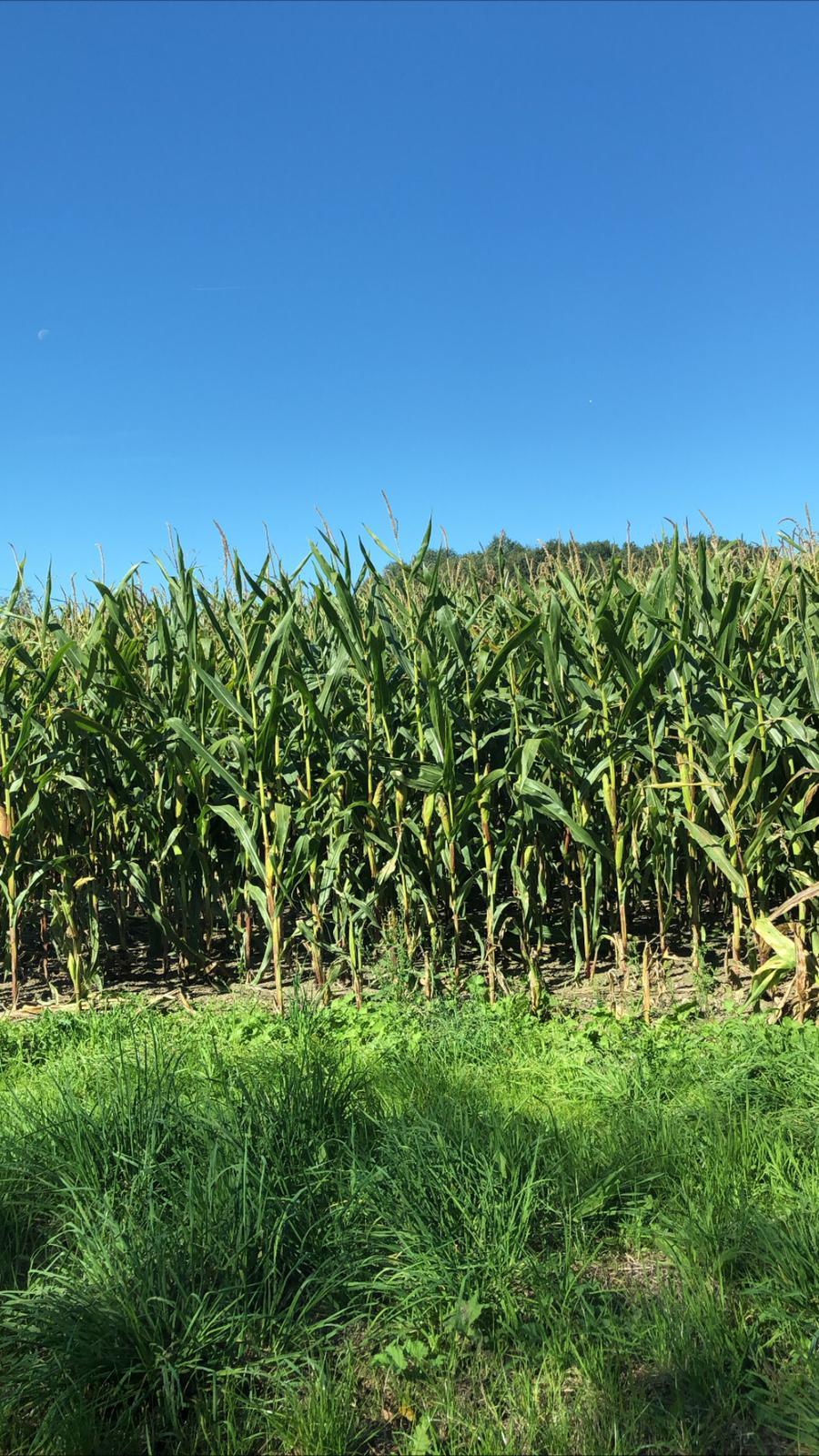 Maisveld in Duitsland