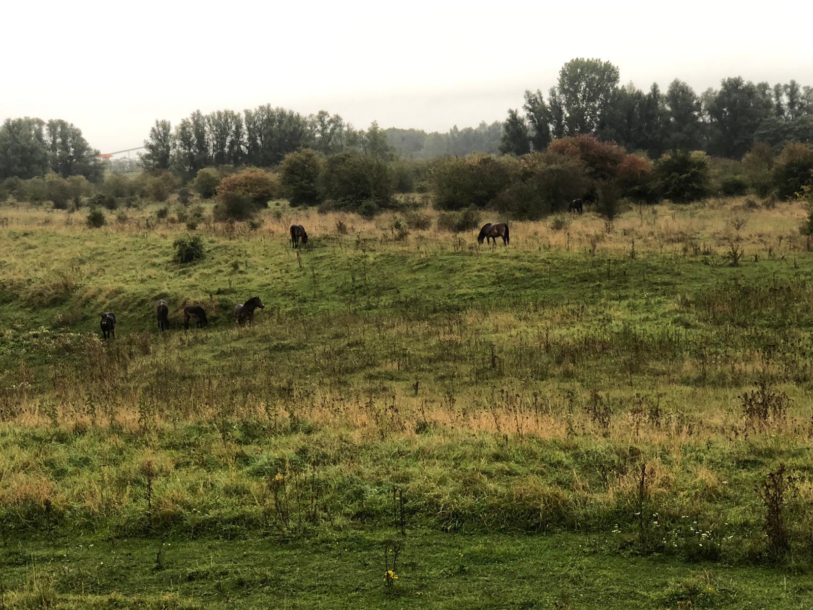 Wilde paardjes