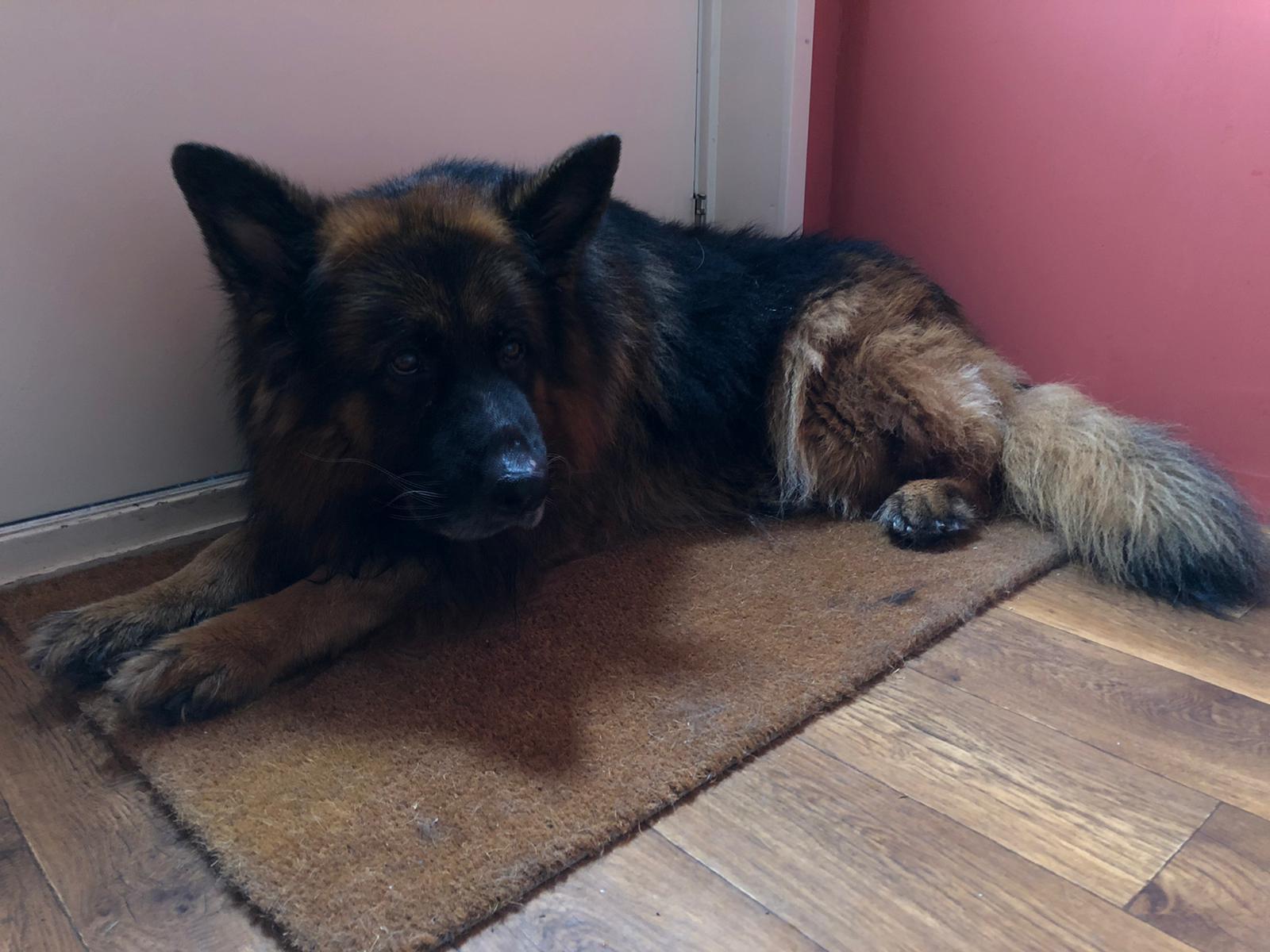 Boze hond op deurmat