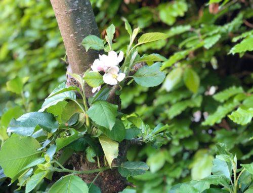 Bloesem aan de appelbomen