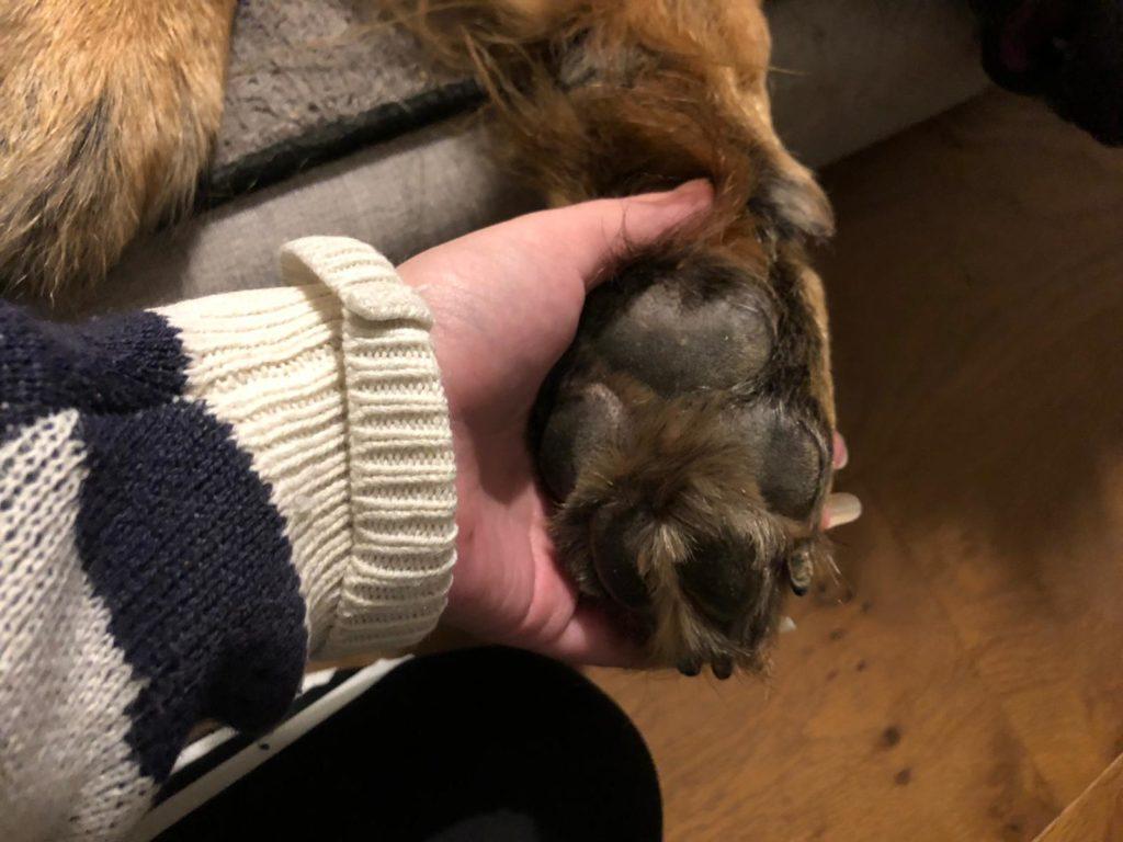 Teddybeer hondenpoot